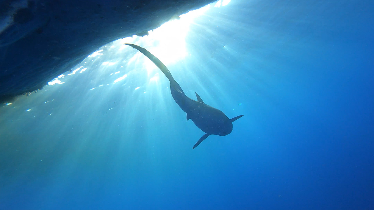 A tiger shark swims in deep water.